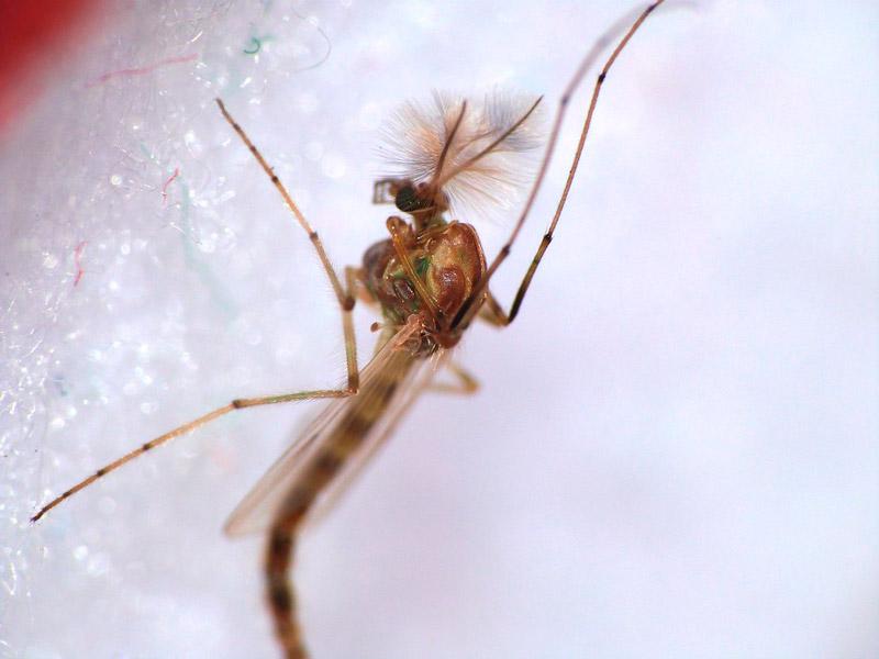 Detectan el primer caso de transmisión sexual del dengue en Europa